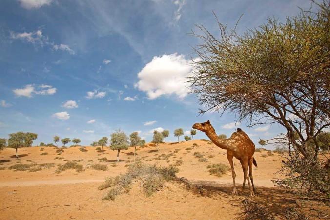 Ras-Al-Khaimah---Camel