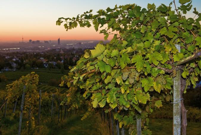Венские виноградники