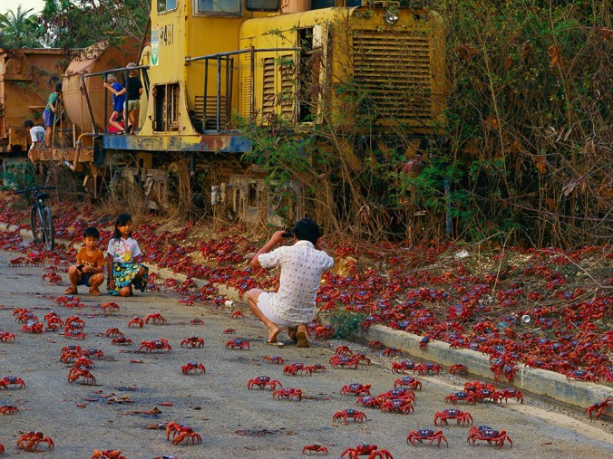 Red-Crabs-in-Christmas-Island